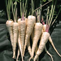 Parsnip 'The Student' - Heritage - 1 packet