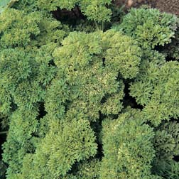 Parsley 'Champion Moss Curled' - 1 packet (1750 seeds)