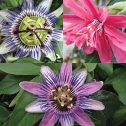Passiflora Collection - 3 jumbo plugs