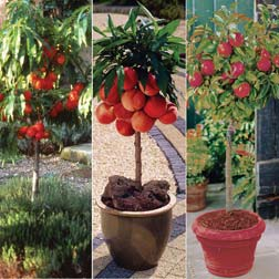 Patio Fruit Collection - 3 trees - 1 of each variety