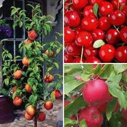 Patio Fruit Tree Collection - 3 trees - 1 of each variety