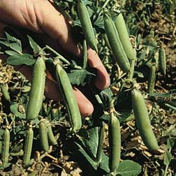 Pea `Balmoral` (Late Maincrop) 1 packet (300 pea seeds)