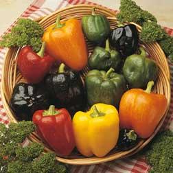 Sweet Pepper 'Summer Salad' F1 Hybrid - 6 x 5cm potted plants
