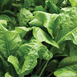 Spinach 'Perpetual' (Spinach Beet) - 1 packet (250 seeds)