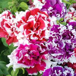 Petunia 'Orchid Picotee Mixed' F1 Hybrid - 24 plug plants