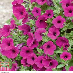 Petunia Purple Velvet F1 - 30 plug plants