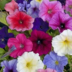 Petunia 'Summer Sensation Mixture' F2 Hybrid - 24 plug plants