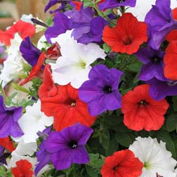 Petunia 'Easy Wave Union Jack Mix' - 72 plugs
