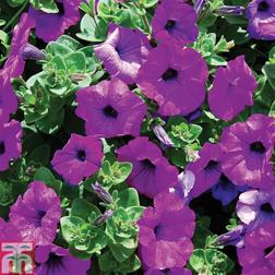 Petunia Trailing Surfinia Purple  5 petunia Postiplug plants