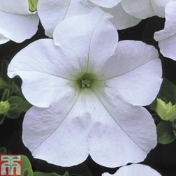Petunia Trailing Surfinia White  5 petunia Postiplug plants
