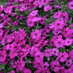 Phlox douglasii Red Admiral (Large Plant)  1 x 1 litre potted phlox plant