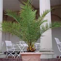 Phoenix Palm  2 x 3 litre phoenix palm plants