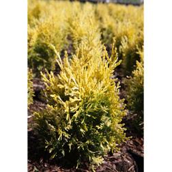 Thuja orientalis `Fleck` (Large Plant) 1 x 3 litre potted platycladus plant
