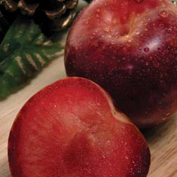 Pluot® 'Flavour King' - 1 feathered maiden