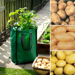 Potato Collection - 'Charlotte', 'Maris Peer' and 'Vales Emerald' - 15 tubers, 5 of each variety