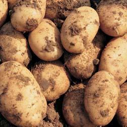 Potato 'Maris Peer' (Christmas) - 5 tubers