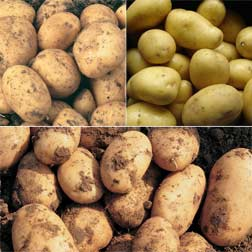 Christmas Potato Collection - 15 tubers - 5 of each variety