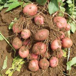 Potato 'Infinity' - 40 tubers