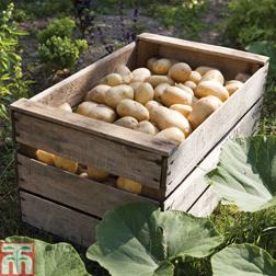 Potato 'Charlotte' - 20 tubers