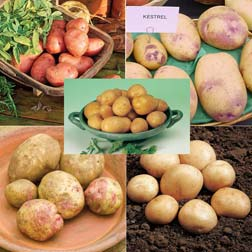 Potato 'Beginners Collection' - 6 x 10 tuber packs