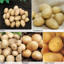 Potato 'Baby New Potato Collection' - 120 tubers - 20 of each variety