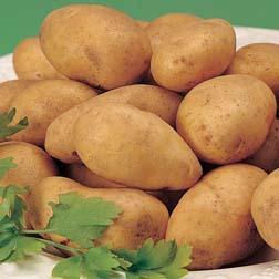 Potato 'Accord' - 5 tubers