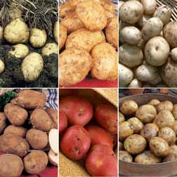 Potato 'Favourite Earlies Collection B' - 6 x 10 tuber packs