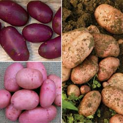 Potato 'Sarpo Collection' - 60 tubers - 20 of each variety
