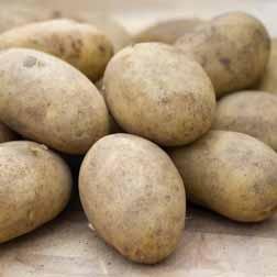 Potato 'Elizabeth' - 40 tubers