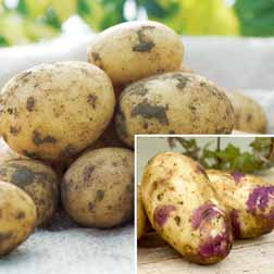 Gourmet Potato Collection and Planters - 15 tubers - 5 of each variety