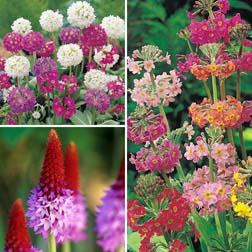 Primula Hardy Collection - 12 jumbo plugs - 4 of each variety