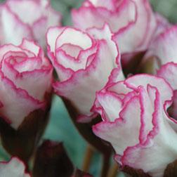 Primrose Double 'Lipstick' - 2 plants in 7cm pots