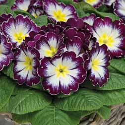 Primrose `Blackberry Crush` 24 primrose plug plants