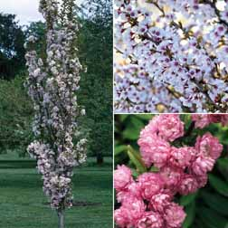 Prunus Collection - 1 collection