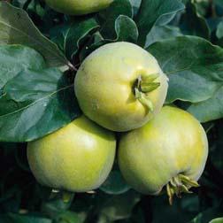 Quince 'Vranja' - 1 tree