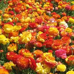 Ranunculus 'Picotee Mix' - 200 bulbs