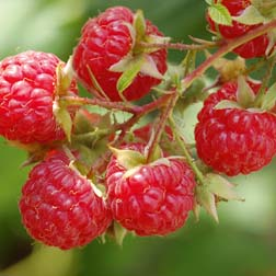 Raspberry 'Glen Moy' (Summer fruiting) - 6 canes