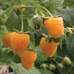 Raspberry 'Allgold' (Autumn fruiting) - 3 canes