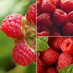 raspberry canes, save 15% off
