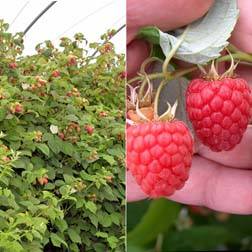 Raspberry 'Glen Fyne' (Summer fruiting) - 3 canes