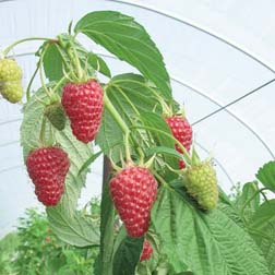 Raspberry `Autumn Treasure` (Autumn fruiting) 6 long raspberry canes