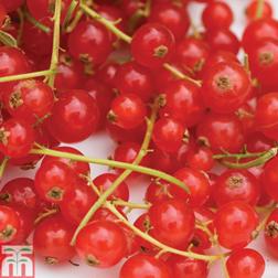 Redcurrant 'Rovada' - 1 plant