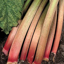 Rhubarb 'Victoria' (Spring Planting) - 3 crowns