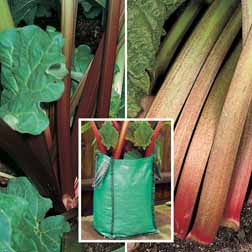 Rhubarb Patio Kit B (Autumn Planting) - 2 patio planters + 2 budded pieces of each variety
