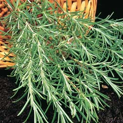 Rosemary - 1 packet (100 seeds)