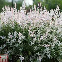 Salix integra `Hakuro nishiki` (Large Plant) 1 x 3.5 litre potted salix plant