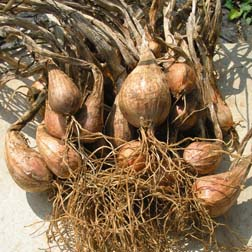 Shallot 'Echalote Grise' (Autumn Planting ) - 1 pack