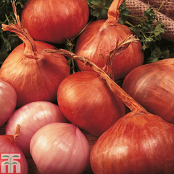 Shallot 'Red Sun' - 1 pack