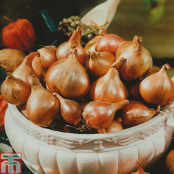 Shallot 'Springfield' - 1 pack