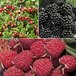 Soft Fruit Collection - 3 plants in 9cm pots